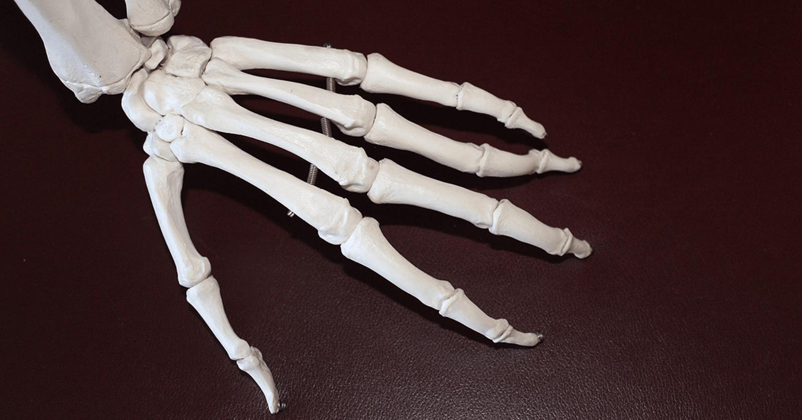 Skeleton model of a hand